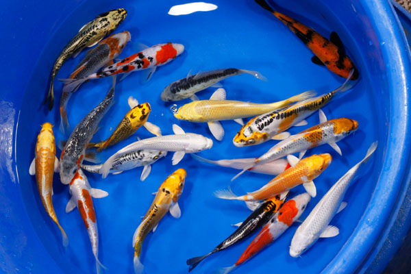 High quality koi koi koi fingerlings small koi for Mini koi fish