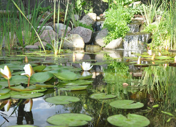 water garden, wate rlilies, backyard pond, pond builder
