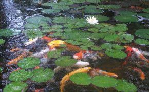Koi pond with aquatic plants