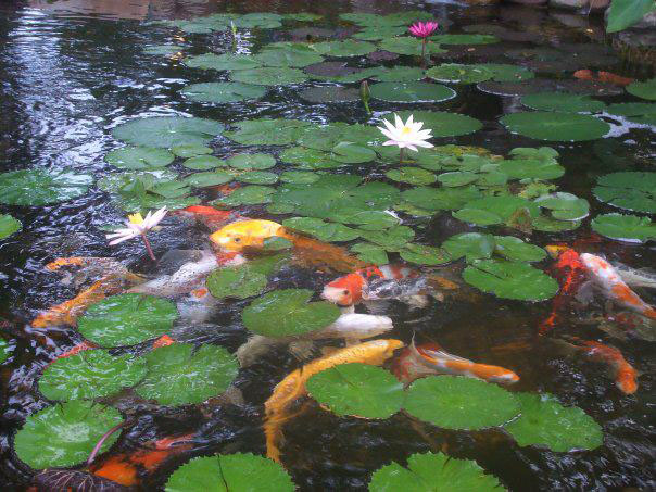 Koi pond with aquatic plants pacific ponds pond builders for Koi pond builder