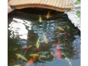Koi pond with bridge