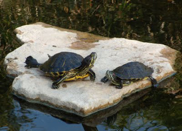 Turtle pond, turtle pond building, pond contractor
